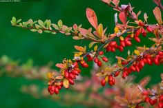 japaninhappomarja berberis thunbergii