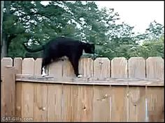Animated CAT GIF • Meanwhile in the backyard a funny Cat weirdly walks on fence.
