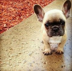 little Jacques, French Bulldog Puppy.