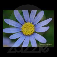 Blue Daisy | Photography by Martie Hevia http://www.zazzle.com/mhevia*/