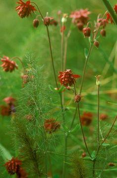 Aquilegia 'Ruby Port' and fennel - Sissinghurst
