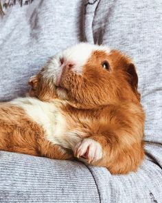 Baby Guinea Pig Care – Tips For Pups - Welcome my homepage Cute Small Animals, Cute Baby Animals, Animals And Pets, Funny Animals, Baby Guinea Pigs, Guinea Pig Care, Guinnea Pig, Cute Piggies, Animal Pictures