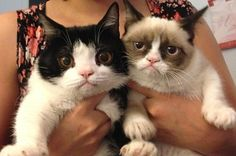 Grumpy Cat (Real name is Tard, like Tardar Sauce and this is her brother Pokey)