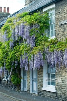 Climbing wisteria vines look extra charming when paired with a faded brick exterior and white window trim.