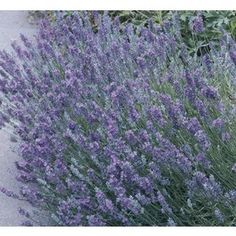 $5.98 �2.5-Quart English Lavender (L6071) Height (Inches)24.0 Maximum Width (Inches)24.0 Light RequirementsFull sun Bloom Seasonspring/Summer Cold HardinessZone 5 (-10 to -20 degrees F Attracts Butterflies  Spacing (Inches)24.0