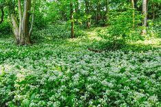 Field of wild garlic flowering in the wood. Giving an overwhelming smell of garlic. Fresco, Garlic Flower, Wild Garlic, Spring Pictures, Natural Remedies, Flowers, Nature, Plants, Aesthetics