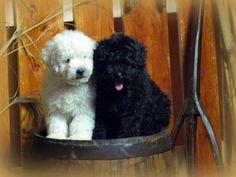 Hungarian Puli Puppies