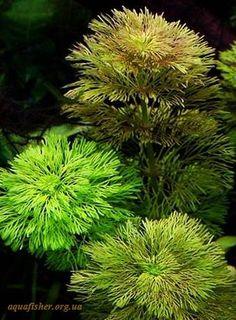 Limnophila_sessiliflora