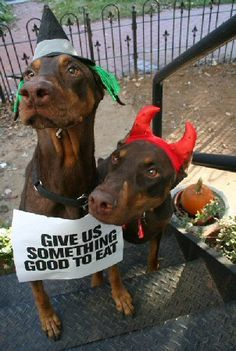 Give us something good to eat! Halloween Dobermans