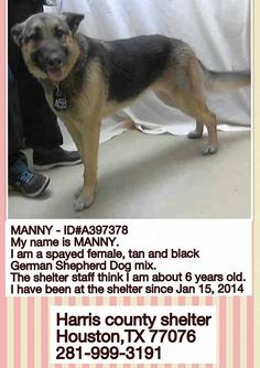 #FOUNDDOG 1-15-14 OWNER SURRENDER #HOUSTON #TX SPAYED FEMALE #GERMANSHEPHERD BLACK & TAN 6 YEARS OLD ID: A397378 281-999-3191 https://www.facebook.com/photo.php?fbid=782291258451009&set=a.532575536755917.138209.510592262287578&type=1
