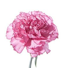 pink carnation symbolizes the love of a woman or a mother