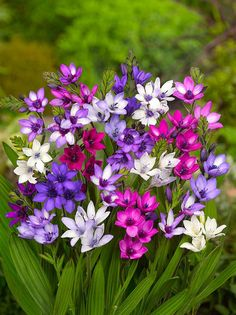 Babiana stricta (baboon flower, blue freesia) is a species of flowering plant in the family Iridaceae, native to Cape Province, South Africa and naturalized in Australia. Bulb Flowers, My Flower, Flower Power, Beautiful Flowers, Garden Bulbs, Beautiful Gardens, Mother Nature, Planting Flowers, Flower Arrangements
