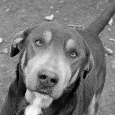 blue lacy dog photo | Dylan a Blue Lacy / Rottweiler (short coat) Photo