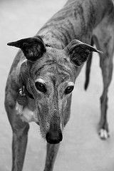 Sophie Posing As Guard Dog (Redzenradish) Tags: dog greyhound pets dogs canon greyhounds t2i reitred
