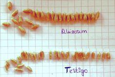 La fertilización biológica promueve el mejor llenado del grano