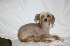 Tess (KY) is an adoptable Chinese Crested Dog Dog in Louisville, KY. Hello I am Tess, estimated at 3.5 years old and weigh 13 lbs, and called a Hairy Hairless. I am being fostered in Louisville KY, Up...