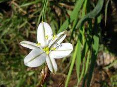 Chlorophytum cooperii - Google Search Chlorophytum, Grass Type, Grasses, Landscape, Google Search, Plants, Lawn, Grass, Scenery