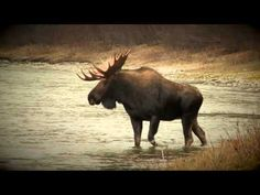 Pat and Nicole traveled to Ceaser Lake Outfitters in the Yukon in search of huge moose. Here's a sneak peak at some of the action as well as an epic encounte. Teaser, Moose Art, Big, World, Winter, Youtube, Animals, Outdoor, Winter Time