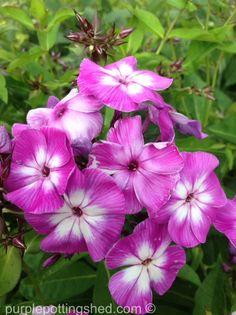 Garden phlox bi-colour, www.purplepottingshed.com