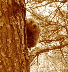 Ground Hog in a Tree??