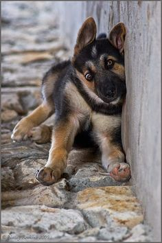 This German Shepherd puppy found this wall to be unmovable