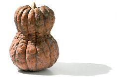 """shishigatanikabocya"" a kind of japanese  pumpkin"