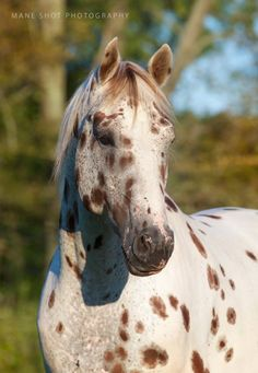 Knabstrupper Stallion by Lisa Heine on Horses And Dogs, Cute Horses, Pretty Horses, Horse Love, Animals And Pets, Cute Animals, Zebras, Beautiful Creatures, Animals Beautiful