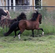 """AMHA/AMHR 2012 33"""" Bay Pinto Gelding. This athletic gelding is going to be a treat to show! Sired by World GRAND Champion, Dayspring I Mean To Shine, this gelding looks just like his famous sire. He is ready to start his career with someone new! Offered by Mini Horse Sales"""