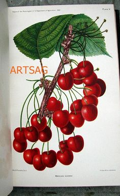 cherries Print antique engraving Plants vintage 1892 Plate V by artsag, $11.40 USD
