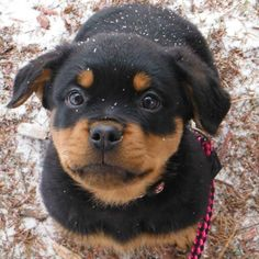 """Get great ideas on """"rottweiler puppies"""". They are actually available for you on our web site. Cute Dogs Breeds, Best Dog Breeds, Cute Dogs And Puppies, Rottweiler Funny, Rottweiler Puppies, Cute Little Animals, Cute Funny Animals, Dog Tumblr, Dog Best Friend"""