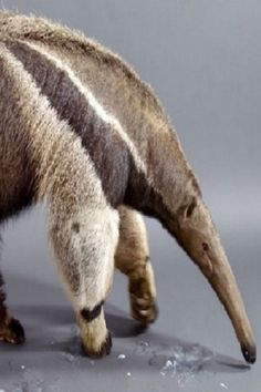 The Giant Anteater Carries On, 25 Million Years and Counting (Video) #The #Giant #Anteater #Carries #On  #25 #Million #Years #and #Counting #Insects #Nature