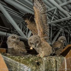 Great Horned Owls at nest