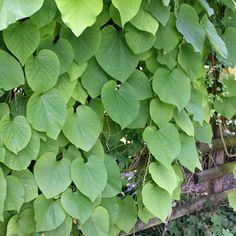 Kletterpflanze Halbschattig geniale rankpflanze für rankgitter rankhilfen oder gartenlauben