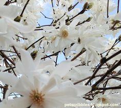 Spring Flowers Close Up: Purple Crocuses, Narcissus, and Star Magnolia