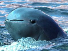 The Irrawaddy dolphin is a species of oceanic dolphin found near sea coasts and in estuaries and rivers in parts of the Bay of Bengal and Southeast Asia. Genetically, the Irrawaddy dolphin is closely related to the killer whale.