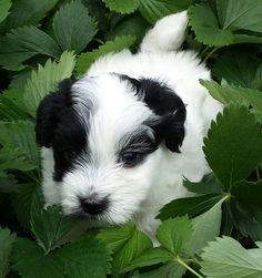 Bo A Kiwi/Remington Puppy, Spring 2015