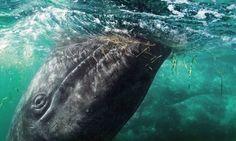 Whale watching http://www.wanderlust.co.uk/magazine/articles/destinations/whale-watching-in-baja-california #animals #wildlife