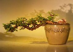 JP: Jade Tree Cascade - Portulacaria Afra