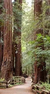 Muir Woods. The picture doesn't come close to showing it, but this is one of the most beautiful places on earth.  One of those sacred spaces.
