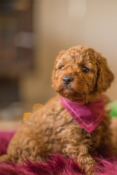 39 Best Puppies for sale images in 2018 | Puppies for sale, Holistic