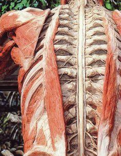 "plastination: Amazing way to see the body ""in motion"" Anatomy Art, Human Anatomy, Brain Anatomy, Gunther Von Hagens, Gross Anatomy, Muscle Anatomy, Anatomy And Physiology, Human Art, Art Model"