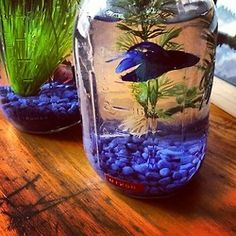 Mason jar beta fish... you better believe this is happening as soon as I move!