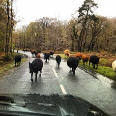 """Rush hour in The New Forest, England. """"New"""" forest, only 900 years old! Over 200 acres of natural beauty and roaming animals that have the right of way"""