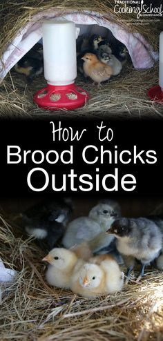 How to Brood Chicks Outside | Confession: Until recently, we tended to our brooding chicks in our home office. We spend most of our time in this room anyway, and it's so fun to watch them while we're working! Then I discovered that it is possible to brood chicks outside, and it's a win-win for us and the chicks! | TraditionalCookingSchool.com