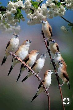Indian silverbill or white-throated munia (Lonchura malabarica) Flock Of Birds, Birds Of Prey, Love Birds, Beautiful Birds, Pet Birds, Birds 2, Bird Template, Colorful Birds, Exotic Birds