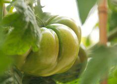 Marmande Vert    |  Color: Green    |  Shape/Size: Ruffled, medium    |  DTM: 80    |  Description: Super ruffly. Pink blush.