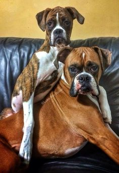 Black Boxer Puppies Purebred Boxer Puppies For Sale In Nj Crafts White Boxer Puppies