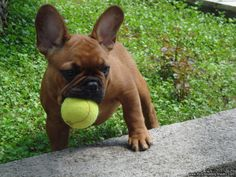 French bulldog...incredibly expensive dream dog. Look at that whittle baby face.