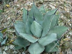 agave parryi v. huachucensis