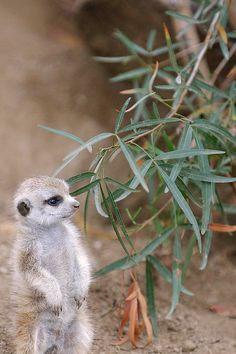 ▒ Baby Meerkat.   Flickr